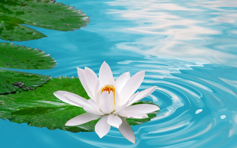 Kết quả hình ảnh cho hoa sen