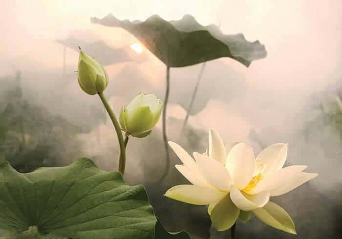Hoa sen trắng thanh tao, thuần khiết