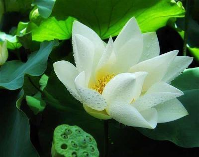 lotus_54